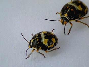 Antestia bugs from Rwanda (Photo: Smartse under CC BY-SA 3.0 license)