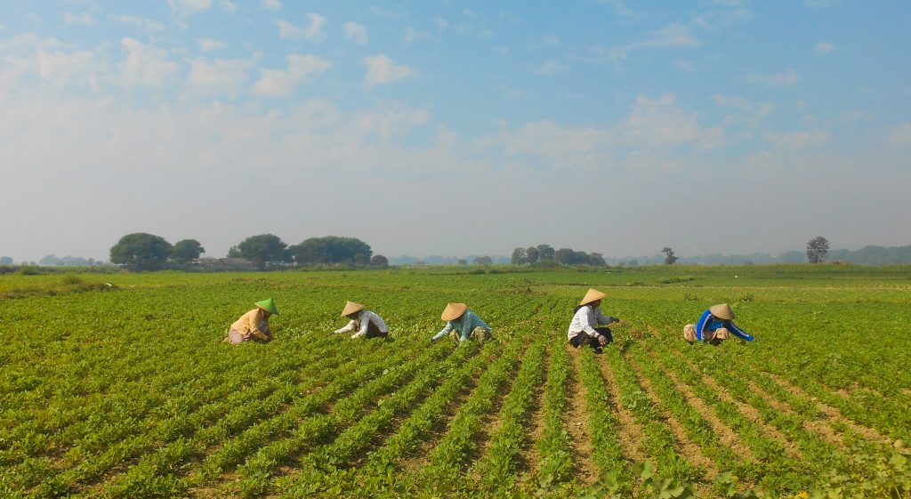 Farmers cultivating rice in Myanmar.