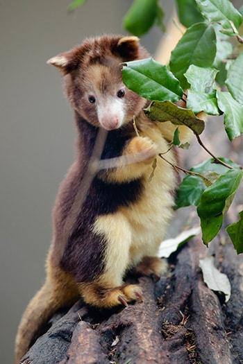 ecki tree kangaroo