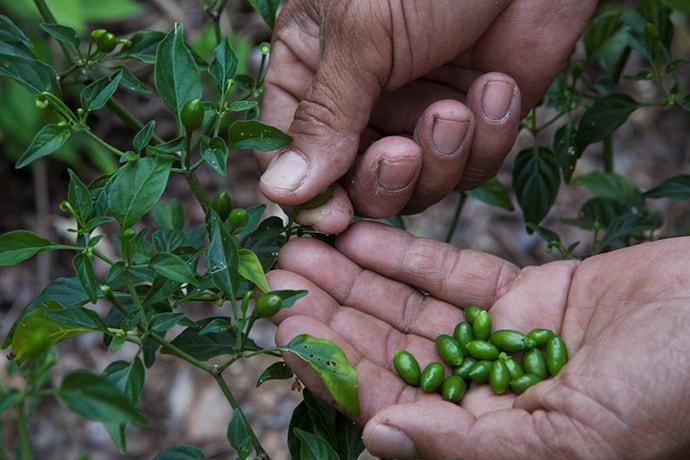 A farmer harvests cardamom
