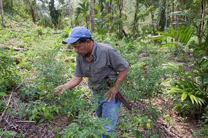 Filiberto Choc inspects his cardamom plants