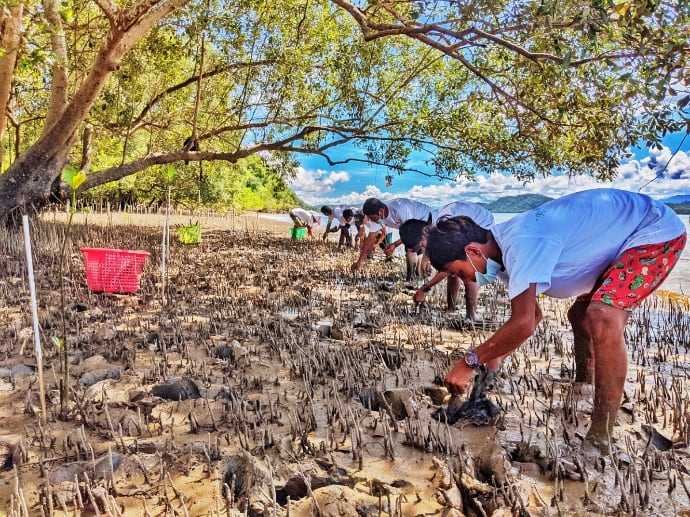 planting mangrove saplings