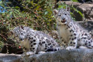 Snow Leopard Cubs Dennis Dow 9-09