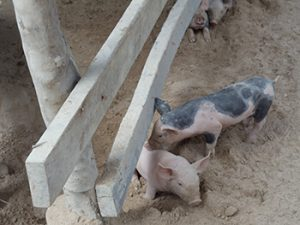 The Village Pig Project