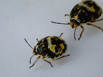 Antestia bugs from Rwanda (Photo: Smartse under CC BY-SA 3.0 license)