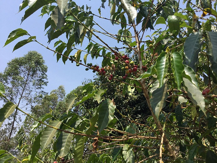 Coffee cherries in Rwanda