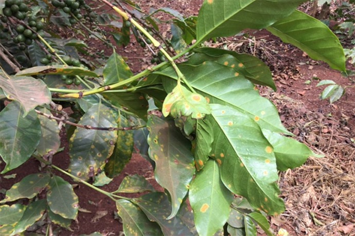 """Coffee rust"" (la roya) infects this coffee tree in Kenya."