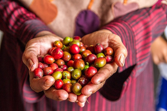 Marliah holds freshly harvested coffee cherries.
